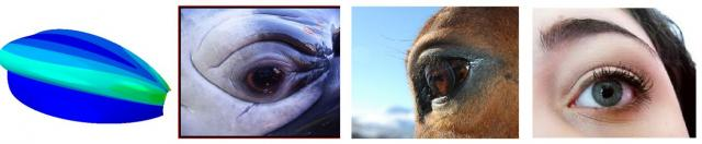 The simulation, a whale's eyelid, a horse's eyelid and a human's eyelid, from left to right.