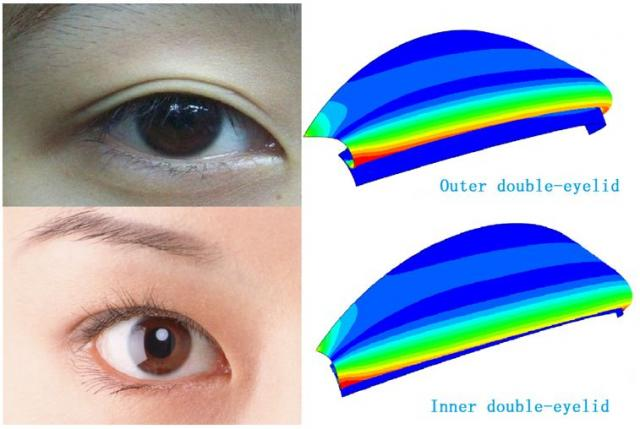 Simulation of the  outer and inner double eyelid.