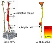 Migration of neurons along compliant radial glial cells